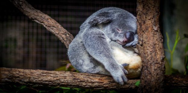 Cris Saur Unsplash koala sleeping