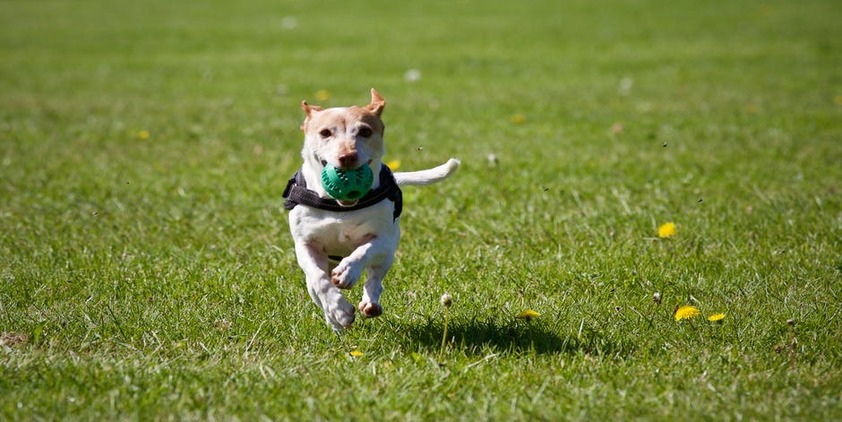 Pexels. Puppy running towards camera with a green ball in his mouth