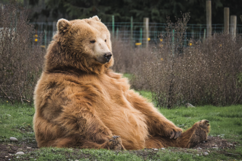 A large bear sits on the ground
