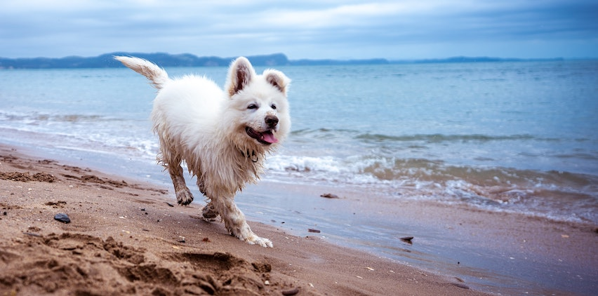 A white dog running on the beach